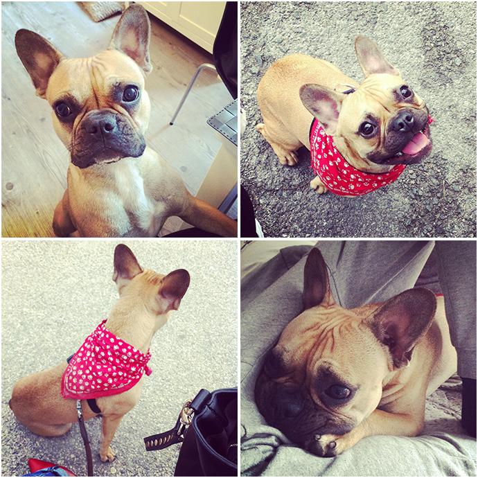 whoismocca, austrian fashionblogger, birthday, puppy french bulldog, französische bulldogge welpe
