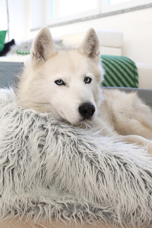 who is mocca, blogger tirol, fashionblog, beautyblog, lifestyleblog, sibirischer husky, angel, miacara hundedecke, blaue augen, husky welpen