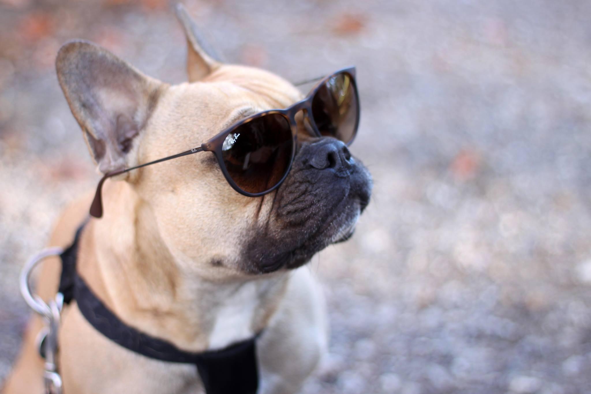 who is mocca, blogger tirol, ray ban, sonnenbrille, erika, aviator, giveaway, gewinnspiel, blogger gewinnspiel, franzoesische bulldogge, sunglassesshop