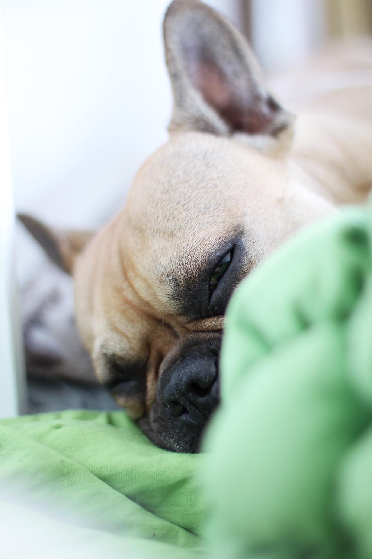 dog activity mit einer franz sischen bulldogge. Black Bedroom Furniture Sets. Home Design Ideas
