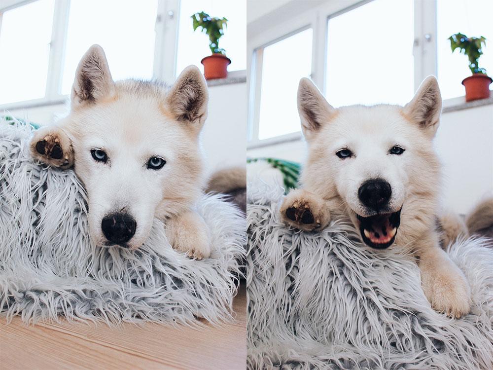Hunde Facts, Husky Angel, Frenchie Mocca, Lifestyle Blog, whoismocca.com