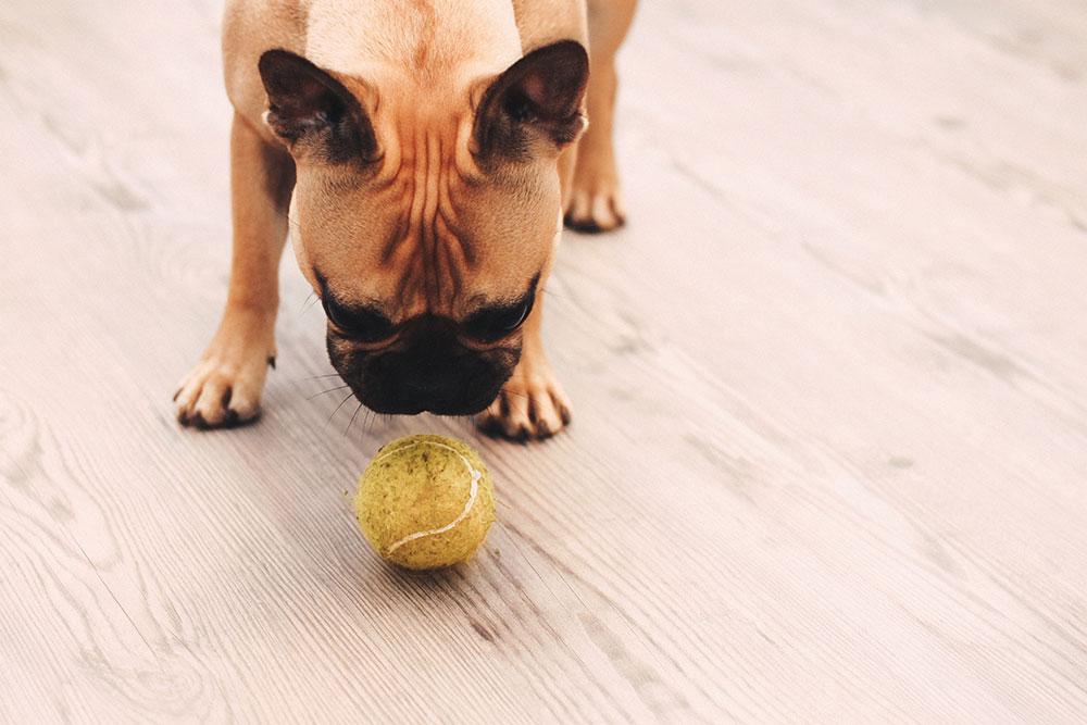 Frenchie, Tipps, Tricks, Hundeblog, 10 Gründe, Französische Bulldogge, whoismocca.com