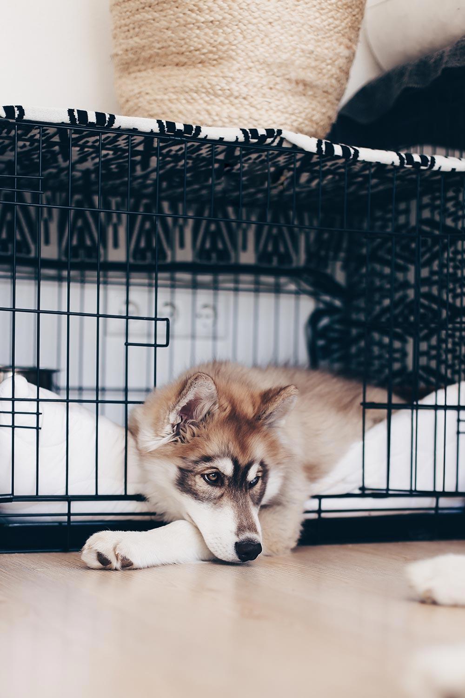Das Leben mit Hund, Frenchie Mocca, Puppy Husky Teddy, Senior Husky Angel, Hundeblog, Hunde Magazin, Lifestyle Blog, whoismocca.com